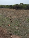Indian Monitor lizard.jpg