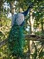 Indian Peafowl (24143620796).jpg