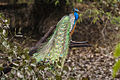 Indian Peafowl - Bandavhgarh - India 9684 (14927330444).jpg
