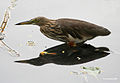Indian Pond Heron I IMG 7500.jpg