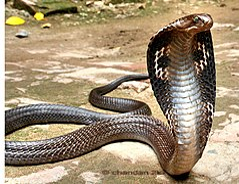 Indian spectacled cobra - Flickr - Scorius.jpg
