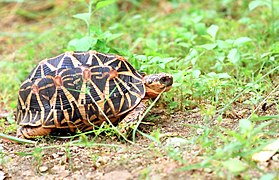 Indian star tortoise by N. A. Naseer.jpg