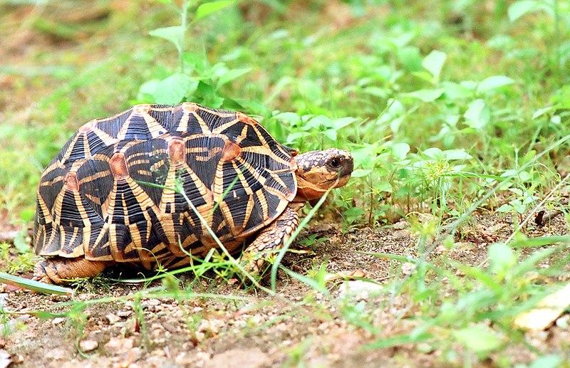 File:Indian star tortoise by N. A. Naseer.jpg