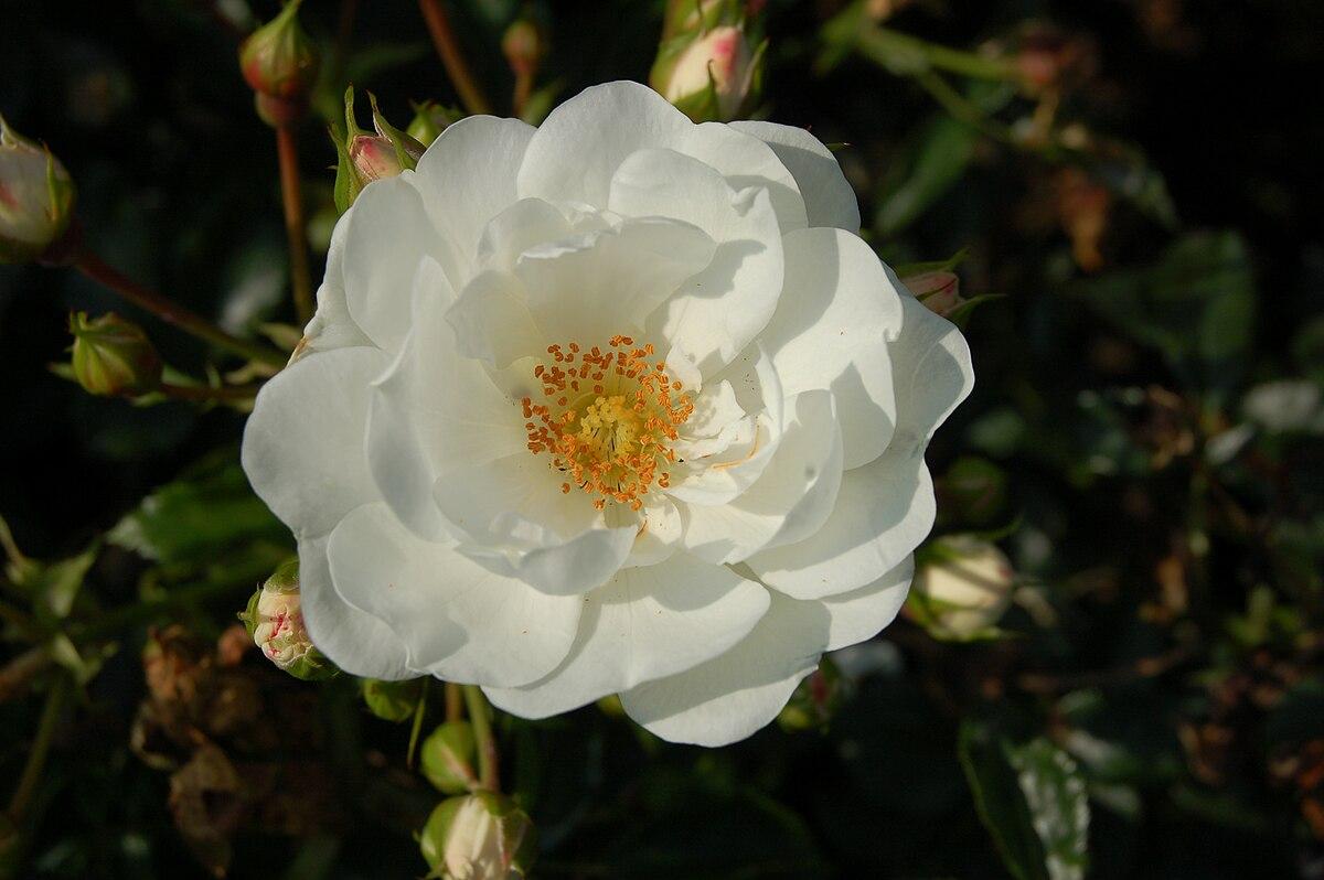 Rosa Innocencia Wikimedia Commons