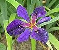 Iris 'Black Gamecock' Flower 2763px.jpg