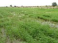 Irrigated rice cultivation in the Senegal River Valley - panoramio (29).jpg