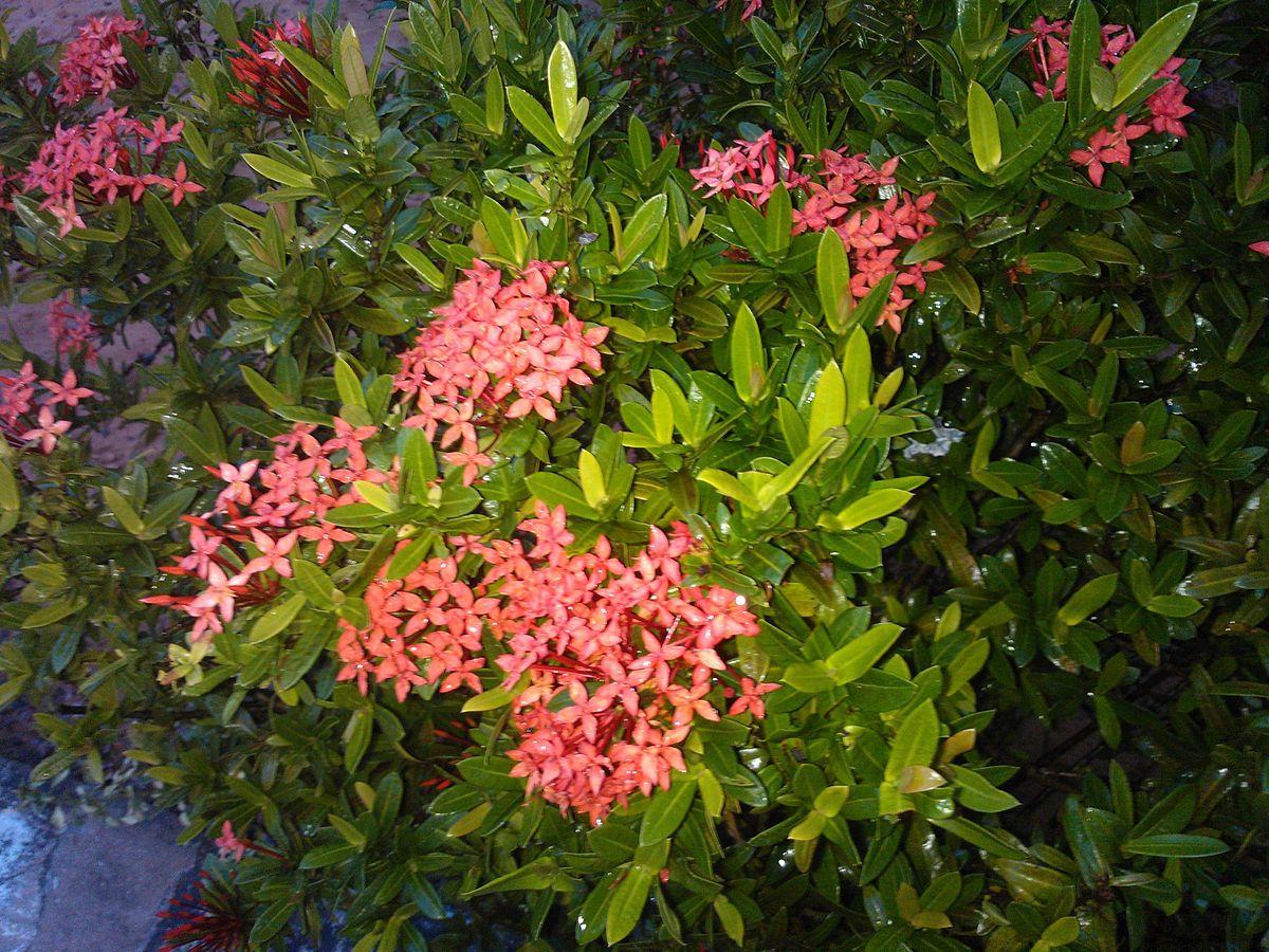 Rubiaceae wikip dia a enciclop dia livre for Especies de arbustos