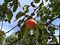 Jabłka w Dzaszewicach - lipiec 2018 - 1.jpg