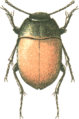 Jacobs74 zophosis scabriuscula.png