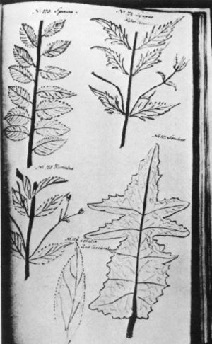 Jane Colden - Jane Colden's sketches of leaves from New York State Plants. No. 123. Spiraea; No. 124. Lycopus Water Hoarhound; No. 125. Mimulus; No. 126. Lobelia'Red C'ardinal' No. 127. Sonchus.