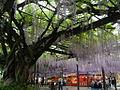 Japanese wisteria Yame Kuroki.JPG