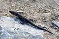 Jaszczurka zwinka nad Wisłą w Piekarach, 20210707 0513 7983.jpg