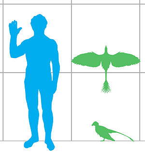Jeholornis - Jeholornis size compared to a modern human.