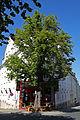 Jena Naturdenkmal Rosskastanie Otto Schott-Straße.jpg