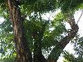Jf9408Pterocarpus indicus Lubaofvf 21.JPG
