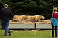 Jonnychainsaw during a chainsaw art demonstration in Scotland 31.jpg