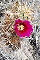 Joshua Tree National Park - Hedgehog Cactus (Echinocereus engelmannii) - 20.JPG
