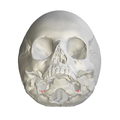 Jugular notch of occipital bone09.png