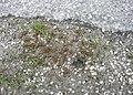 Juncus bufonius plant (07).jpg