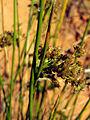 Juncus effusus InflorescenseCloseup ValledeAlcudia.jpg