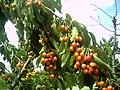 June Flower ^ Cherry Farming Endingen Kaiserstuhl - Master Seasons Rhine Valley Photography 2013 - panoramio (21).jpg
