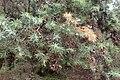 Juniperus oxycedrus kz18 (Morocco).jpg