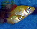 Juvenile Platy with Mother.jpg