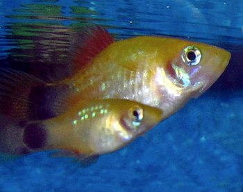 English: A juvenile male platy (Xiphphorus mac...