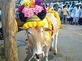 Kadaladi - Jallikattu5.jpg