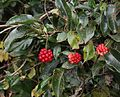 Kadsura japonica (fruits s3).JPG