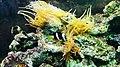 Kaliningrad Zoo - Sea anemone and Amphiprion clarkii.jpg