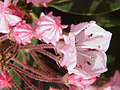 Kalmia latifolia0.jpg