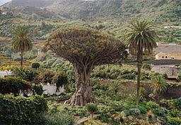 Kanarischer Drachenbaum in Icod de los Vinos