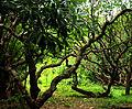 Kath Golap Tree.jpg