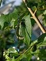 Katwijk - Lantaarntje (Ischnura elegans).jpg