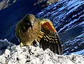 Kea on snow.jpg