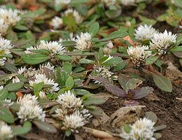 Khaki weed (Alternanthera pungens) in Hyderabad, AP W IMG 8030