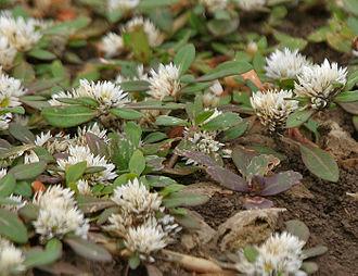 Gomphrenoideae - Image: Khaki weed (Alternanthera pungens) in Hyderabad, AP W IMG 8030