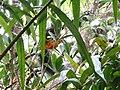 Kinabalu Park, Ranau, Sabah, Malaysia - panoramio (14).jpg
