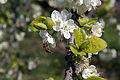 Kirschblüte mit Biene (2007-04-06).JPG