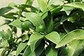 Kluse - Fortunella margarita - Kumquat 07 ies.jpg