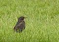 Koltrast Blackbird (20324430996).jpg