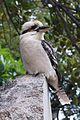 Kookaburra (9582818950).jpg