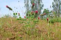 Korina 2016-05-26 Trifolium incarnatum.jpg