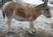 An onager, resembling a donkey but is larger, a native of the Middle East and India