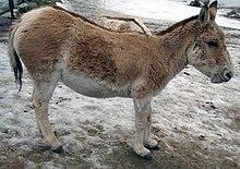 科凯亚萨里动物园中的土库曼野驴