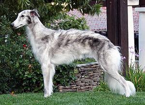 Silken Windhound - A grey Silken.