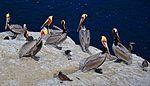 La Jolla Cove, Ca. Brown pelican (12096528503).jpg