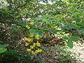 Laburnum anagyroides 003.jpg