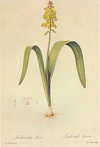 Lachenalia luteola in Les liliacees.jpg